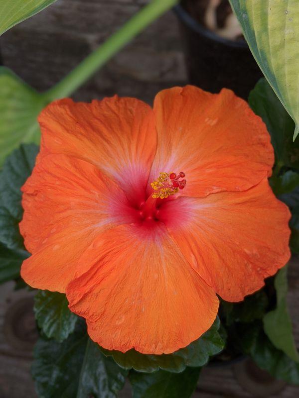 Hibiscus thumbnail