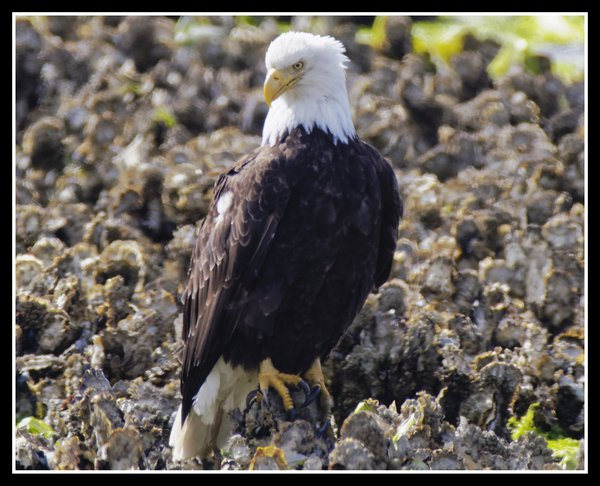 Big Beef Creek:  Bald Eagle on Oyster Bed thumbnail