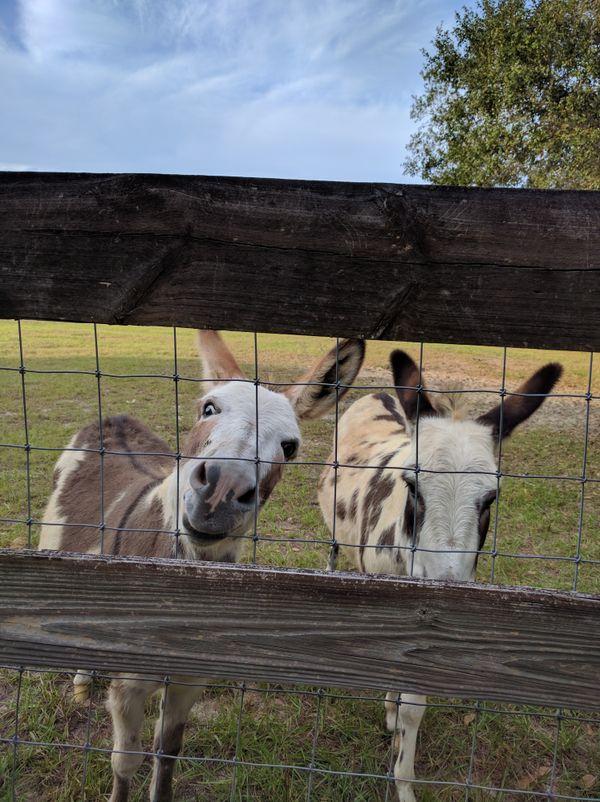 Donkeys looking through a fence thumbnail