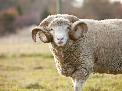 Dorset Horn sheep are one of eight heritage livestock breeds currently living at SVF. The gene bank currently contains 30 breeds.