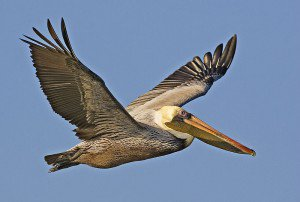 20110520102307800px-Brown_pelican_-_natures_pics-300x202.jpg