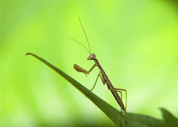 Infant preying mantis, about 8mm long. (taken on 2006_6_14 thumbnail
