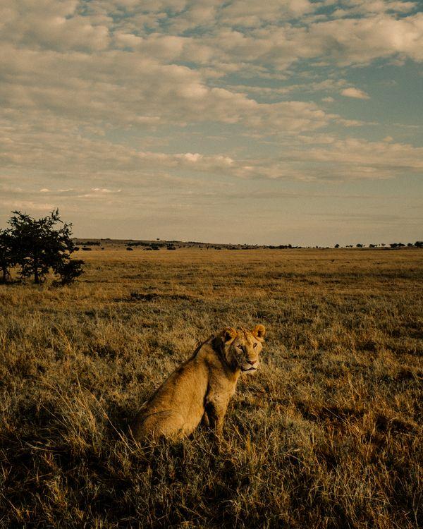 A Lion Watches the Sunrise thumbnail