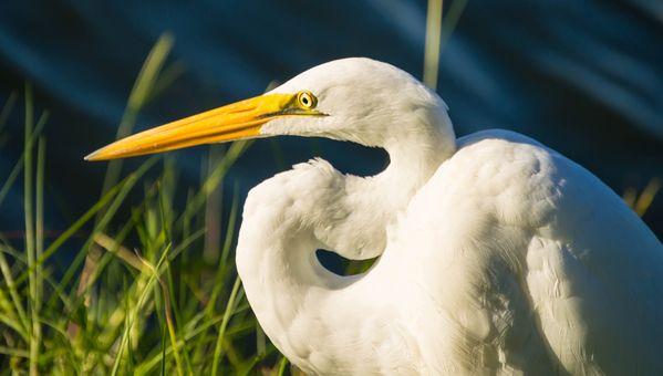Perched Great Egret. thumbnail