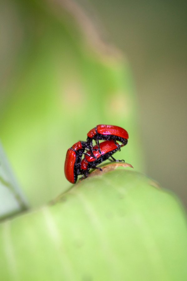 Red Lily Beetle thumbnail