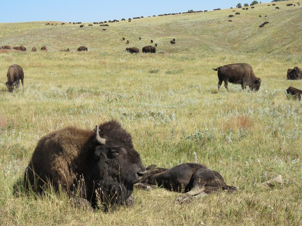 Buffalo at Custer State Park thumbnail