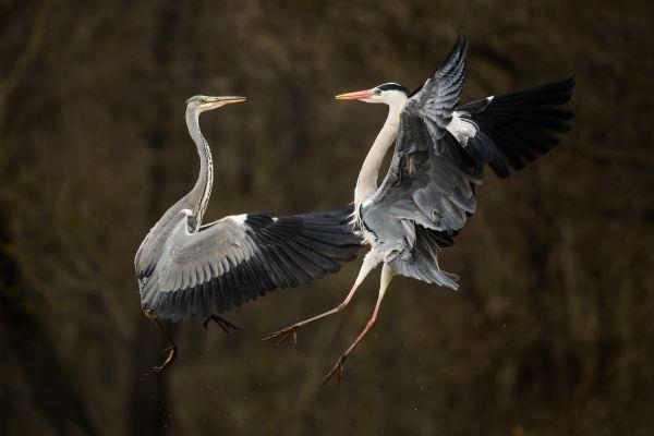 Gray heron duet thumbnail