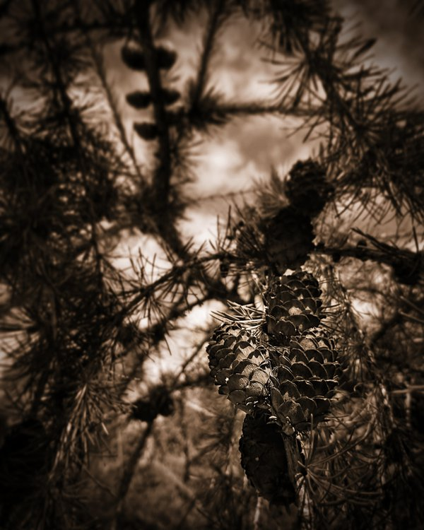 Sepia pinecones  thumbnail