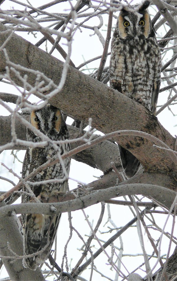 A Pair of Long-eared Owls on a Frosty Morning thumbnail