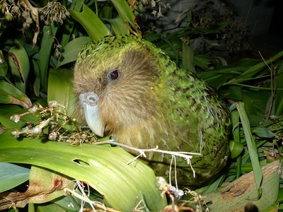 When comparing the genomes, the team found that the birds of Stewart Island had less genetic diversity than the mainland birds and had half as many mutations as the birds that dwelled on the mainland.