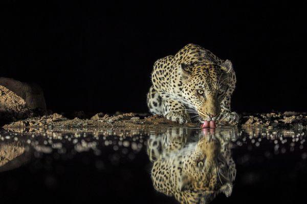Leopard drinking thumbnail