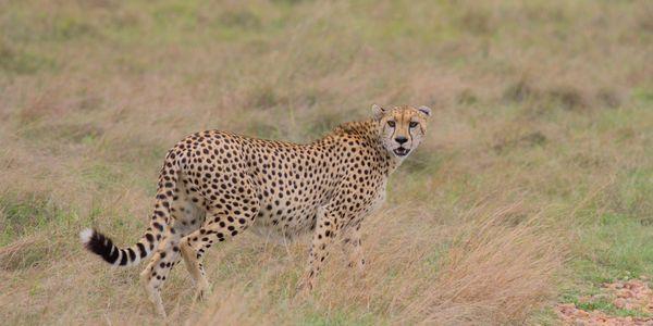 Cheetah hunting in Masai Mara thumbnail