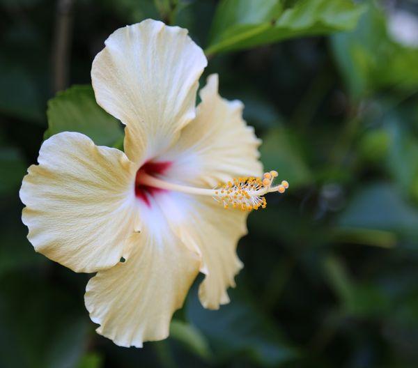 Hibiscus flower in full bloom  thumbnail