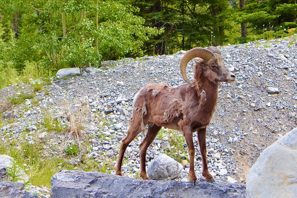 One tattered bighorn sheep standing fiercely on a rock thumbnail