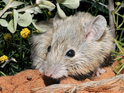 Genetic tests reveal that the Shark Bay mouse (pictured) from Shark Bay, Western Australia, is actually a living population of Gould's mouse, which had been thought to be extinct for more than a century.