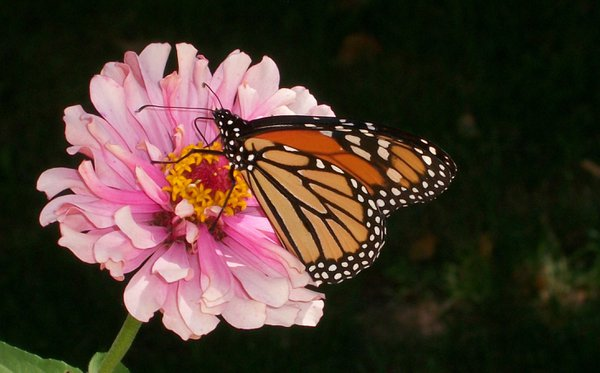 Whirligig Zinnia and a Monarch thumbnail