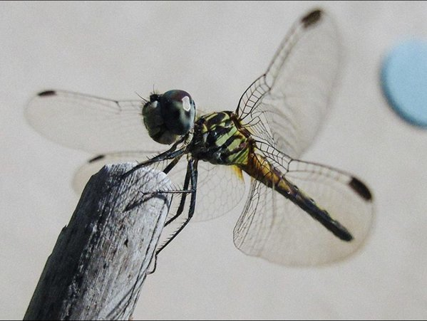 dragonfly getting its wings thumbnail