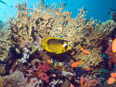A raccoon butterflyfish on a coral reef in Egypt's Red Sea. The vast majority of aquarium fish come from countries with known cyanide fishing problems.