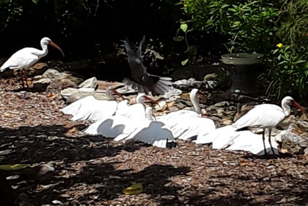 Ibis Feather Drying Party thumbnail