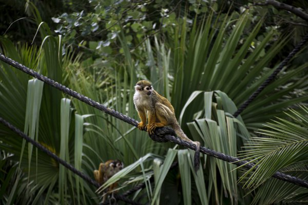 Squirrel-Monkey thumbnail