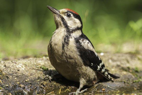 Great Spotted Woodpecker showing off thumbnail