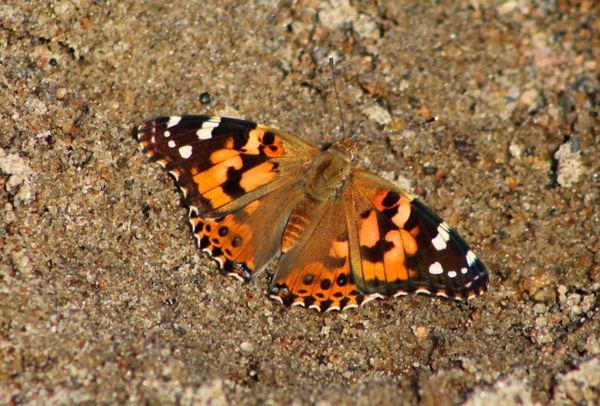 Butterflies on the beach. thumbnail