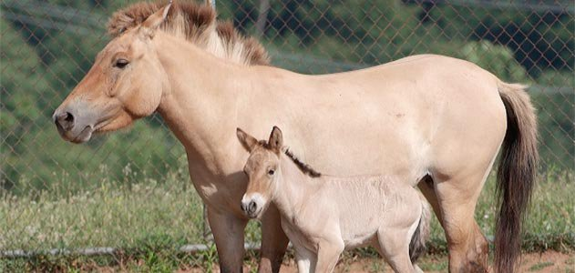 Przewalskis horse thrives at Smithsonian's Conservation and Research Center
