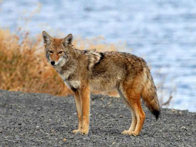 Coyotes are about to enter South America, a move that could soon make the species, native to North America, one of the most widespread carnivores in the western hemisphere.