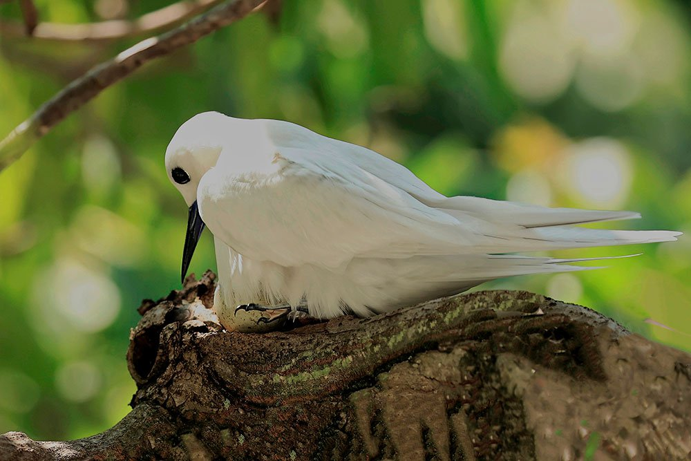 Meet the White Tern, a Seabird Surprisingly Thriving in a Big City