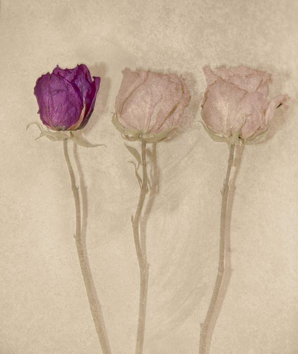 Dry Roses thumbnail