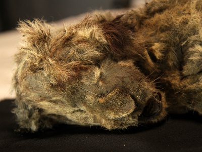 The specimen (pictured) was so well-preserved in permafrost that it's whiskers are still intact.