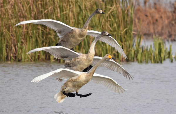 Trio of Whooper Swans landing in Korean wetlands. thumbnail