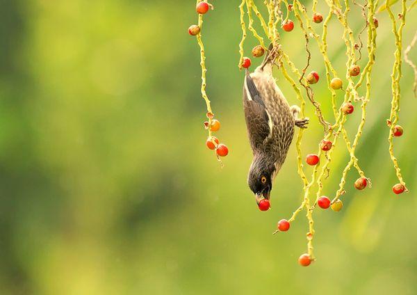 A Polynesian starling enjoying an acrobatic evening snack in Samoa. thumbnail