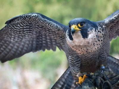 Peregrine falcons are found on every continent except Antarctica