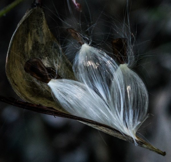 Milkweed seeds with their plumes in open milkweed pod thumbnail
