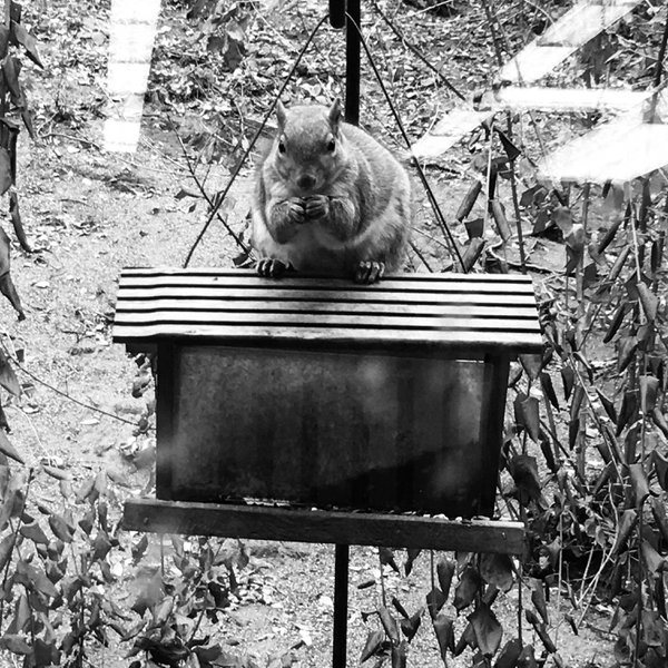 A very chubby squirrel observing my classroom thumbnail