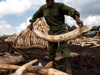Workers from the Kenya Wildlife Service carry elephant tusks from shipping containers full of ivory transported from around the country for a mass anti-poaching demonstration.