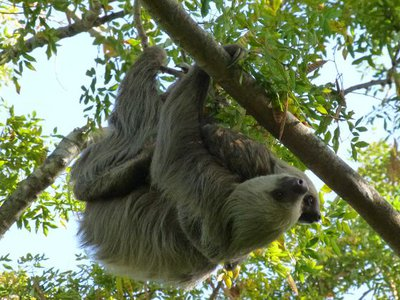 Two-toed sloths (Choloepus hoffmanni) live in the canopy layer of the Panamanian rainforest. Find out why in a family program streaming July 17.