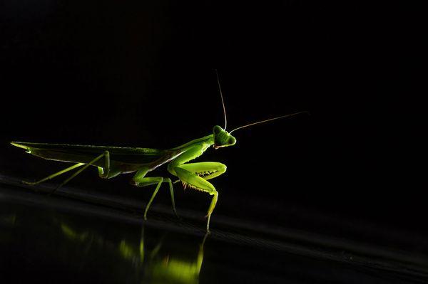 Gaze of a Praying mantis thumbnail