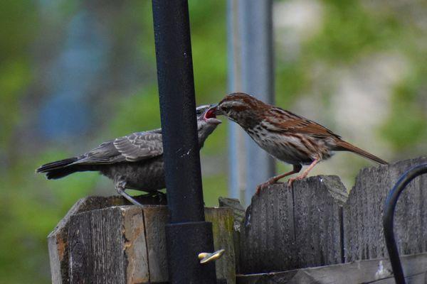 Song Sparrow Feeding Baby Brown-headed Cowbird thumbnail