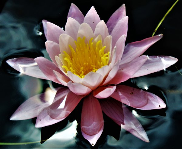 Water Lily in the Orland River thumbnail
