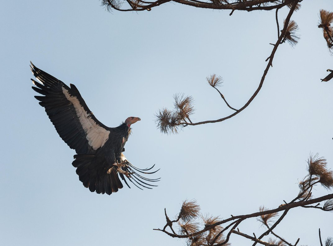 After Last Year's Deadly Fires, the California Condor Soars Once Again