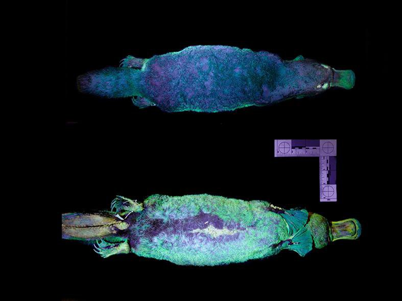 The top and bottom of a museum specimen platypus shown under ultraviolet light so they glow blue-green
