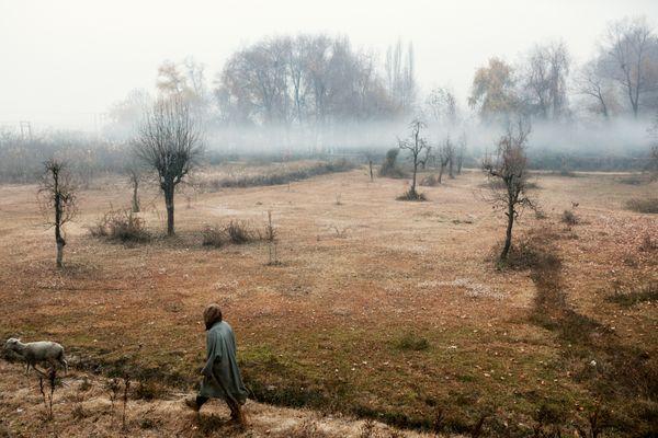 Srinagar, Kashmir. A sheperd walking in the Nishat Gardens thumbnail