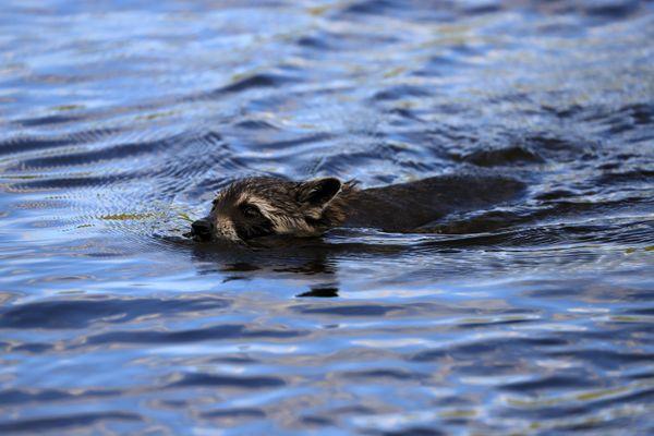 Swimming Raccoon thumbnail
