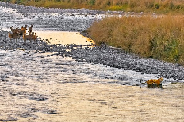 tiger crossing river under watch of alert deer thumbnail