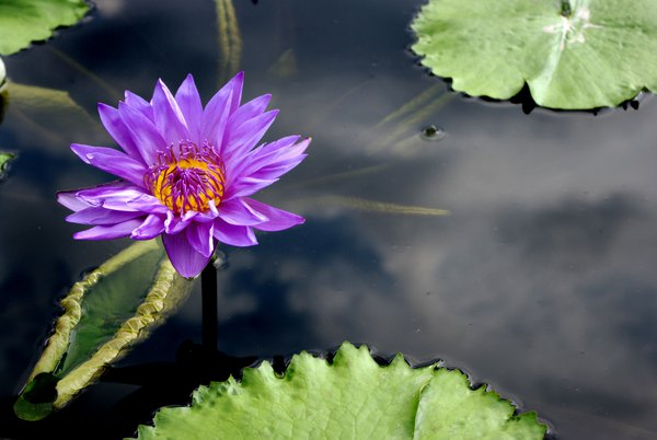 Water lily at Kenilworth Park and Aquatic Gardens thumbnail