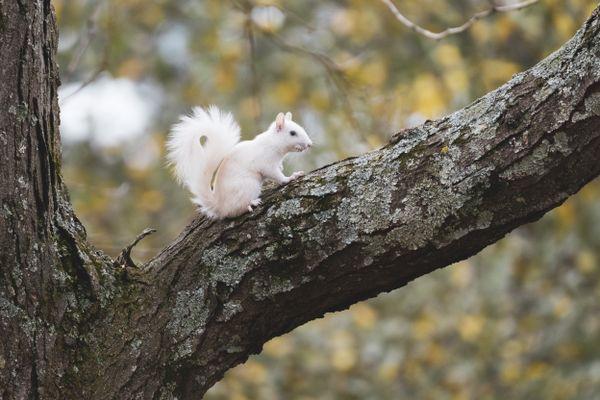 Rare White Morph Squirrel  thumbnail