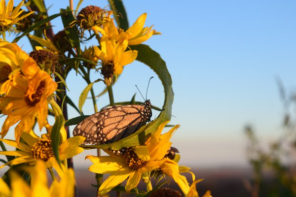 Butterfly on a Prairie Morning thumbnail