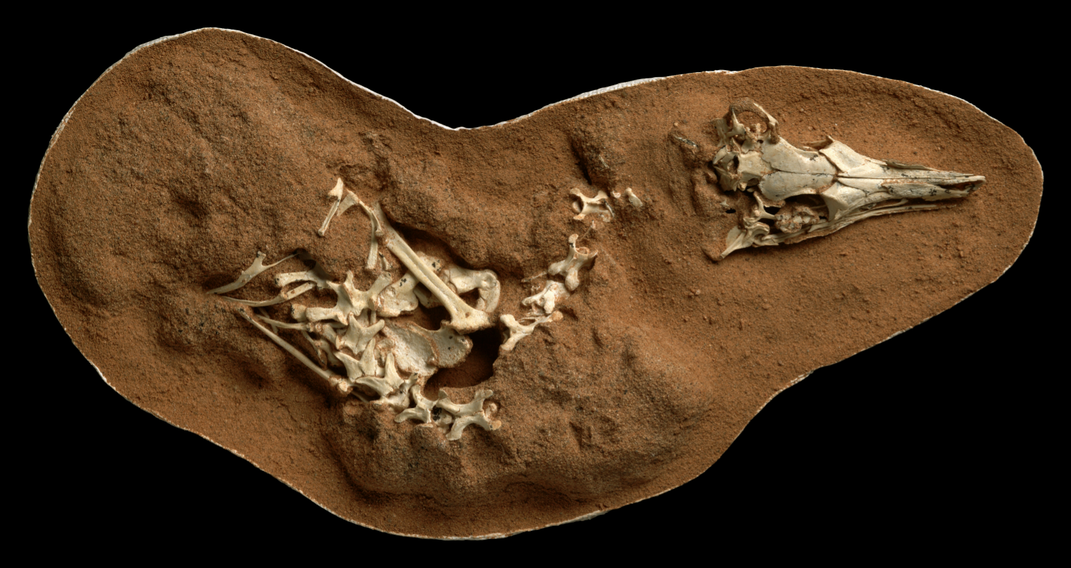 Big Eyes and Long Inner Ears Helped This Tiny, Owl-Like Dinosaur Hunt at Night